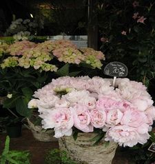 "src=""australian womens travel.jpg alt=womens travel,peonies at the market , paris france """