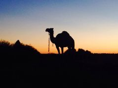 Australia's Premier Camel Trekking Experience, Outback Australian Camels Camel in the evening light. Photography Camel Treks