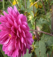 "ours.jpg alt=womens travel, purple dahlia, monets garden, giverny, france"">"