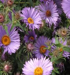 "ours.jpg alt= purple daisies, monets garden, giverny, france"">"