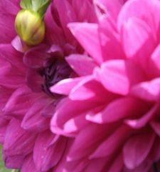 "ours.jpg alt=womens travel, closeup of pink dahlia, monets garden, giverny, france"">"