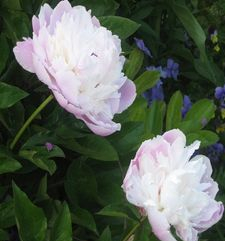"ours.jpg alt=womens travel, two whitw flowers, monets garden, giverny, france"">"