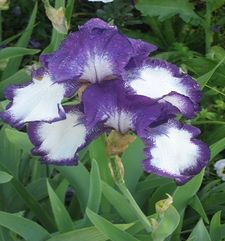 "ours.jpg alt=womens travel, white and purple iris, monets garden, giverny, france"">"