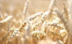Wheat Buyer & Supplier