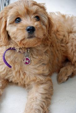 Toy Cavoodle Puppy