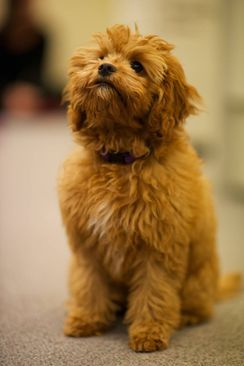 toy cavoodle adult