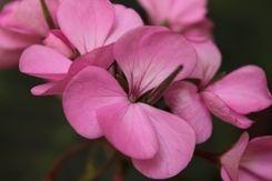 Aquilea Centre Flors roses