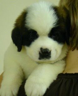 An Eminence Saint Bernard Puppy who stayed in Northern Ireland