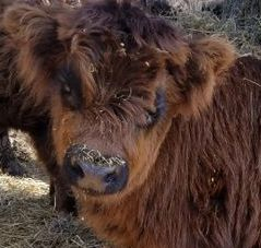 Shorty is a miniature Highland cow