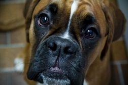 Brachycephalic dogs may retain juvenile characteristics into adulthood