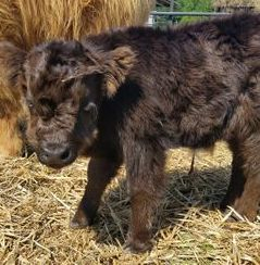 Koda is a miniature cow for sale - sold