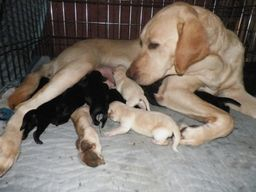 Angel with a litter of her puppies