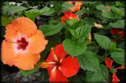 "6"" Tropical Hibiscus"