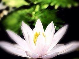 Peaceful Lotus Blossom