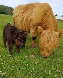 2 miniature Highland cows