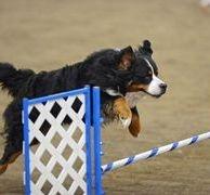 Berner agility jump