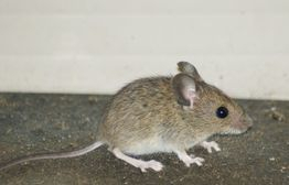 Mouse forney