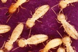 Termite forney