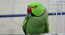 Gorgeous Indian Green Ring-neck!