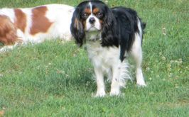 Cavalier King Charles Spaniel New England