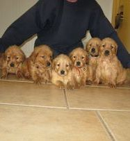 Golden Retriever puppies   Lish Kennels