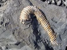 Straight Ammonite found at Folkestone