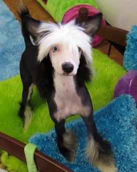 Blue eyed Chinese Crested