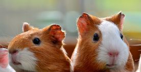 We love guinea pigs!