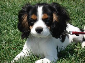 ROYAL FLUSH CAVALIERS FLORIDA CAVALIER PUPPIES CAVALIER BREEDER