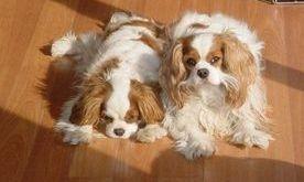 Cavalier King Puppies massachusetts