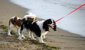 King Charles Puppies Rhode Island