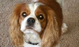 Cavalier King Charles Puppies New England