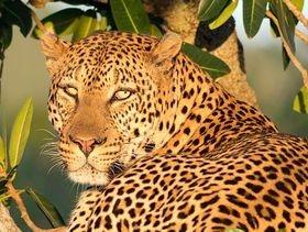 Masai Mara, beautiful jaguar