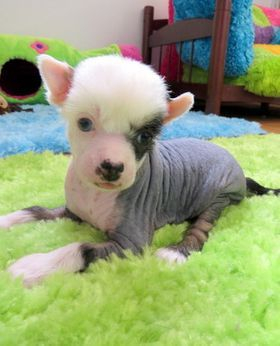 chinese crested puppies  with blue eyes