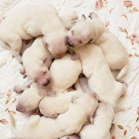 A pile of creme puppies