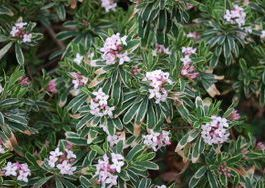 Carol Mackie Daphne originated at the grand isle nursery and is a beautiful cold tolerant Daphne.