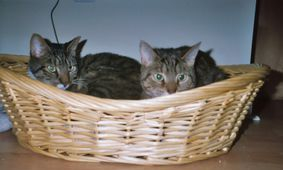 My current cats Amiboshi & Suboshi in a basket