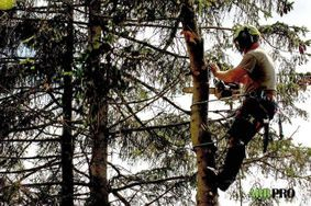 One of our climbers on spikes removing the branches of a Spruce tree