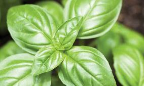 Basil is a popular and heavily used herb in many gardens