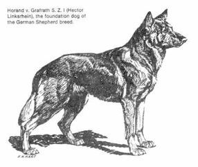 Horand One of the first recorded registered German Shepherds in Germany