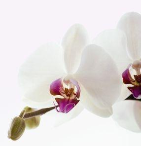 Elegant phalanopsis orchids.