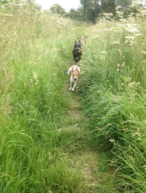 dog walking, dog walker, northampton, milton keynes, blisworth, hanslope