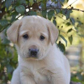 cute chunky labrador puppy