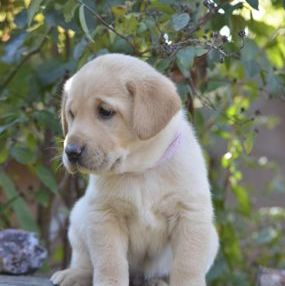 yellow labrador female for sale