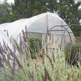 Luffas grow in greenhouses surrounded by fragrant lavender