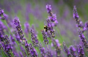 Anti-inflammatory, healing, calming Lavender