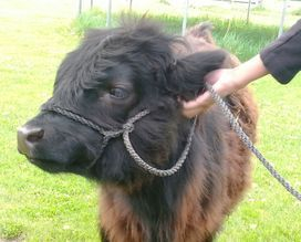 Miniature hairy cow Raven