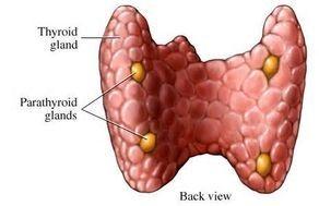 Thyroid and Parathyroid Gland Nodules