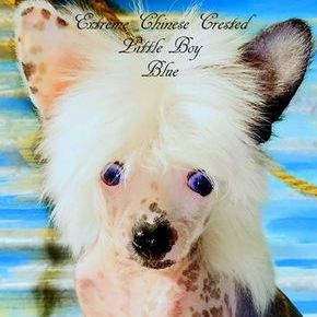 Chinese Crested puppies Blue eyed chinese crested