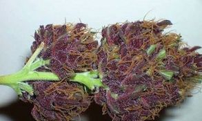 Strain Name: Purple Urkle  Grade: A